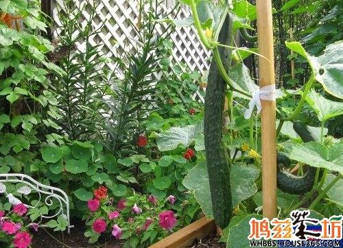 油桶自制阳台种菜